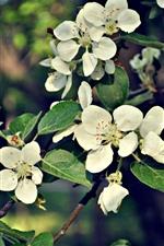 iPhone обои Белые яблочные цветы, веточки, листья, весна