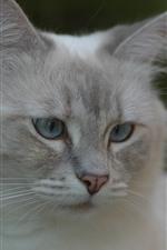Gato branco, olhar, rosto, olhos, orelhas, nebuloso