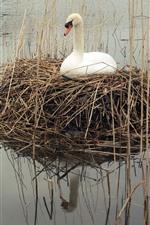 White swan, grass, nest, lake