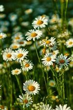 iPhone обои Wildflowers, ромашка, белые цветы, лето