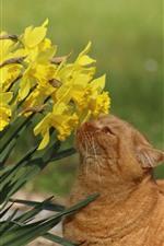 iPhone обои Желтые нарциссы, цветы, кошка