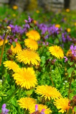 Preview iPhone wallpaper Yellow dandelions flowers and pink flowers