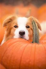 Dog, face, many pumpkins