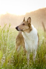 Preview iPhone wallpaper Dog, look, wildflowers, grass, summer