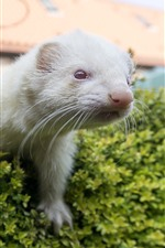 Preview iPhone wallpaper Ferret, face, green bushes
