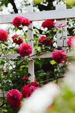Preview iPhone wallpaper Garden flowers, red roses, fence