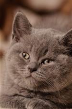 Preview iPhone wallpaper Gray kitten, look, face, cute pet