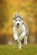 Хрипкая собака бежит, трава, осень