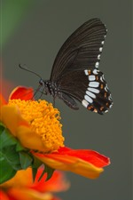 Preview iPhone wallpaper Insect macro photography, black wings butterfly, orange flower