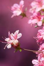 Vorschau des iPhone Hintergrundbilder Viele rosa Blüten, Rhododendron, Blütenblätter, dunstig