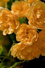 Aperçu iPhone fond d'écranBeaucoup de roses jaunes, de fleurs gros plan