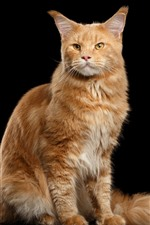 Gato laranja, em pé, olha, fundo preto
