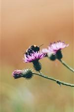 Aperçu iPhone fond d'écranFleurs roses, abeille, insecte macro photographie