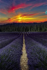 Preview iPhone wallpaper Purple lavender flowers field, hot air balloon, trees, sunset
