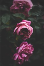 Preview iPhone wallpaper Some pink roses, flowers, leaves, hazy