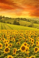 Preview iPhone wallpaper Sunflowers, field, trees, clouds, nature