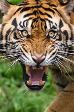 Preview iPhone wallpaper Tiger, face, teeth, look, wildlife