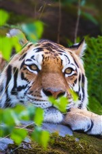 Preview iPhone wallpaper Tiger, rest, face, eyes, green leaves