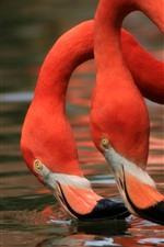Два фламинго, шея, вода
