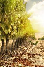 Vinhedo, uvas, folhas verdes, sol