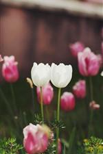 Белые и розовые тюльпаны цветы, сад