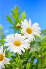 iPhone обои Белые цветы ромашки, лепестки, зеленые листья, синий фон
