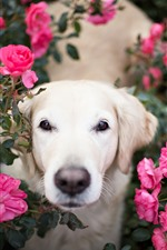 Preview iPhone wallpaper White dog front view, face, look, pink roses