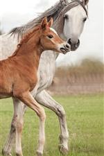 Cavalo branco e cavalo marrom, família