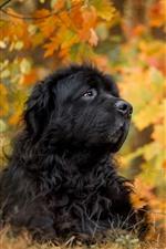 Cachorro preto, rosto, folhas de bordo, outono