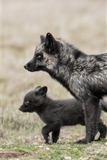 Raposa preta e filhote, animais selvagens