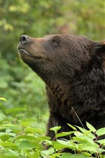 Preview iPhone wallpaper Brown bear, plants, green leaves