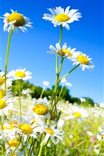iPhone обои Ромашка, белые цветы, лепестки, стебель, голубое небо