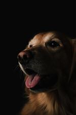 Cão, rosto, boca, língua, fundo preto