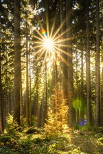 Preview iPhone wallpaper Forest, trees, sun rays, glare, autumn