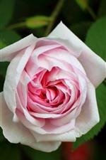 Aperçu iPhone fond d'écranRose rose clair, fleur, pétales, feuilles vertes