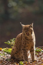 Preview iPhone wallpaper Lynx, yawn, wildlife