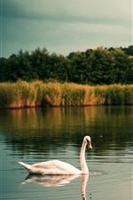 Um cisne branco, lago, grama