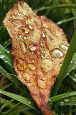 Preview iPhone wallpaper One yellow leaf, green grass, water droplets