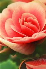 Vorschau des iPhone Hintergrundbilder Rosa Rose, Blütenblätter, Tau, Blume Nahaufnahme