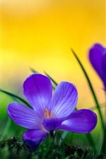 Preview iPhone wallpaper Purple crocuses macro photography, petals, grass, hazy
