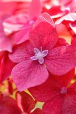 Close-up de flores de hortênsia vermelha, pétalas