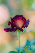 Aperçu iPhone fond d'écranRose rouge, une fleur, tige, brumeuse