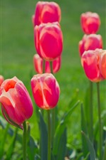 Preview iPhone wallpaper Spring flowers, red tulips, green background