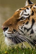 iPhone обои Тигр, лицо, вид сбоку, дикая природа, трава