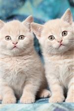 iPhone обои Два милых котенка, лицо, смотреть