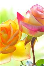 Vorschau des iPhone Hintergrundbilder Gelbe und rosa Rosen, Blume Nahaufnahme, Blütenblätter, Blätter