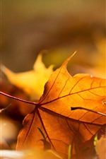 Preview iPhone wallpaper Yellow maple leaves, hazy, autumn