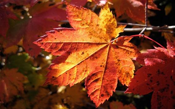 Hintergrundbilder Eine rote Blätter im Herbst