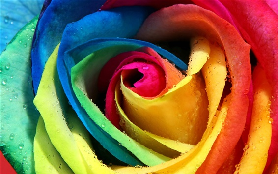 Wallpaper Colorful roses close up