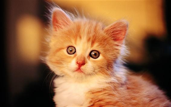 桌布 可愛的橙色小貓咪